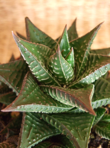 Haworthia 'limifolia' offsets