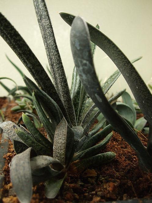 Succulent Plant, Rare Gasteria Rawlinsonii Ellaphieae (Mature Plant, Fan Shape)