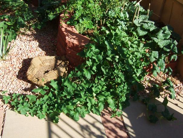 Melon Vine--Organic Melons Coming Soon!