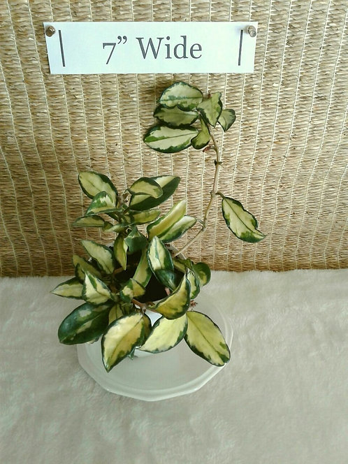 Succulent Plant, Hoya Carnosa Rubra Variegata