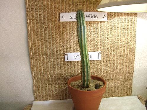 Succulent Plant (Cactus), Pilosocereus Azureus 'Blue Candle' 1
