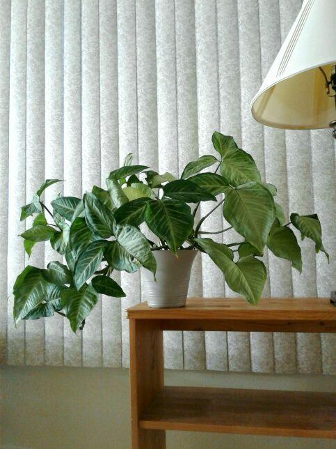 "Tropical Arrowhead Vine aka Syngonium Podophyllum in 7"" Grayish Plastic | NW Pho"