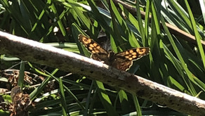WE CAN LEARN FROM THE SPECKLED WOOD