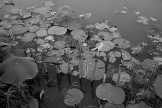 Water Lily (Land of Mist series), 2018