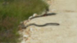 Runtu, Malaysia, king cobra eating a wat