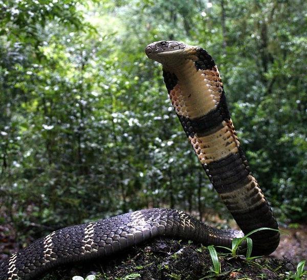 King-cobra_-Agumbe_Gowri-Shankar_vhfzrb.