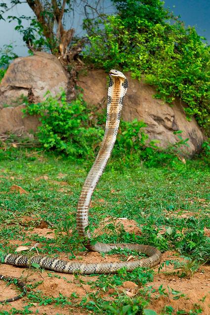 arunkumar.thaydi for Eastern Ghats Wildlife Society.JPG