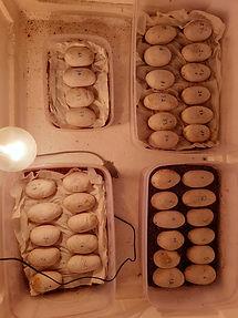 King-cobra-eggs-in-an-incubator.jpeg