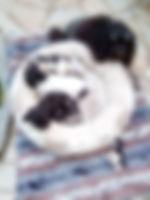 Löwchen Petit Chien Lion