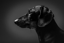 Miniature dachshund profile head shot on black background