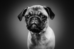 Pug puppy, headshot in black and white with a plain background
