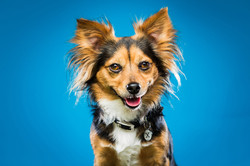 Chihuahua cross dog, smiling in front of blue background