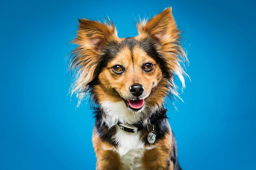 Studio portrait of Chihuahua cross on blue backdrop