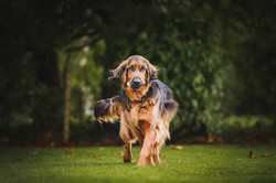 Red setter carrying a treat in mouth, prancing towards camera.
