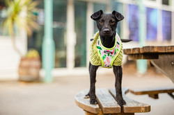 Patterdale terrier in a jumper stood on a bench at Mumbles Pier, Swansea, Tom Harper Photography