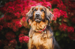 Red setter portrait in front of red flower background red