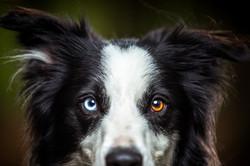 Border collie headshot, heterochromia, Tom Harper Photography