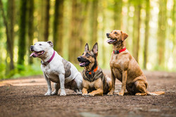 Three dogs sitting down and looking left in woods with sunny background, Tom Harper Photography