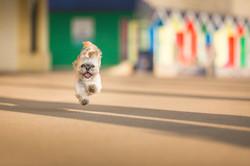 Shih tzu jumping and running near beach huts in Barry Island, Tom Harper Photography