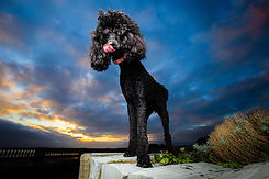 Black poodle portrait in front of sunset
