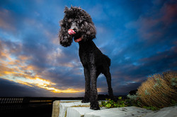 Poodle at the coast with sunset background in Barry Island, Tom Harper Photography