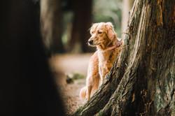 Golden retriever peeking from behind a tree