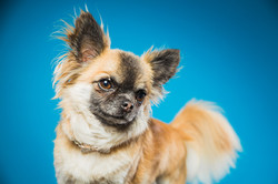 Beautiful chihuahua wearing pearl collar against a blue background