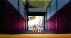 Cavapoos, dogs side by side in alley in Great Yarmouth, Tom Harper Photography