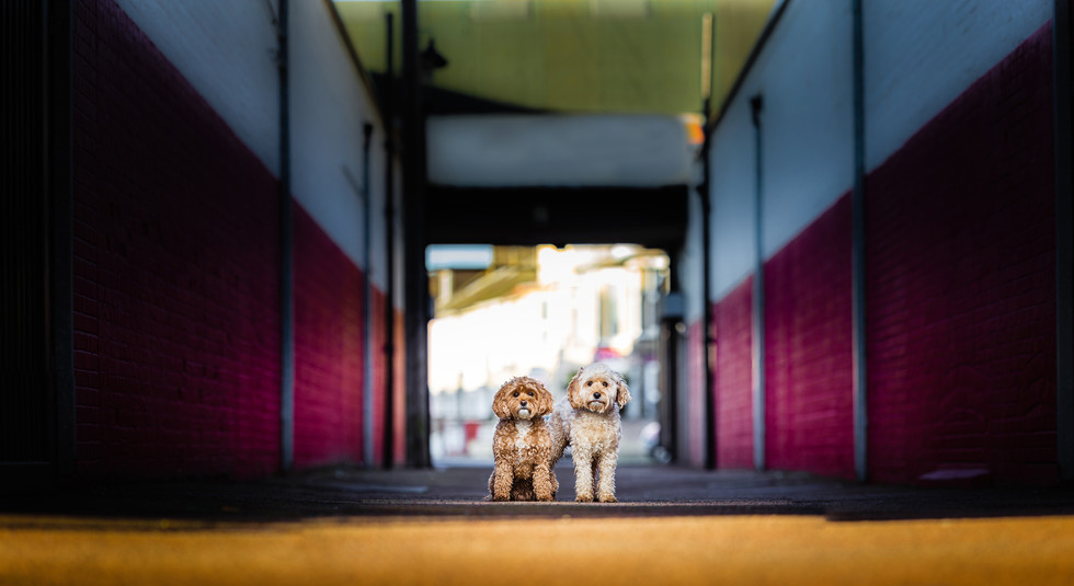 Two cockapoos standing next to each other in an alley. Leading lines towards dogs with red walls either side.