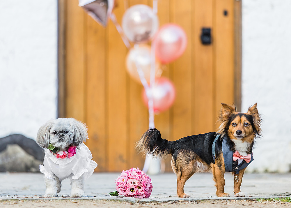 Dog Wedding Tuxedo Harness by Tuna & Bear