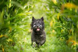 Cairn terrier running between rows of corn, Tom Harper Photography