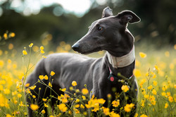 Greyhoud in buttercups meadow, Tom Harper Photography