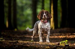 Springer Spaniel portrait in woods, Tom Harper Photography