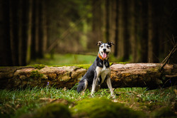 Lurcher in front of log with forest background