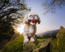 Shih Tzu on wall in countryside at sunset