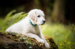 Cute golden retriever puppy on log in woods