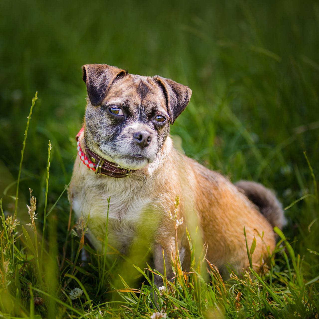 Beaut, Jack Russell X Pug