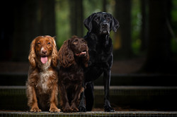 Spaniels, Labrador Portrait in woods, Tom Harper Photography