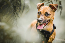 Terrier dog with tongue out, surrounded by ferns