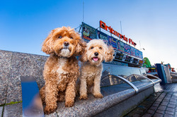 Cavapoos, dogs at Britannia Pier, Great Yarmouth, Tom Harper Photography