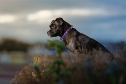Profile of cross breed dog standing amongst foliage under moody sky in Barry Island, Tom Harper Phot