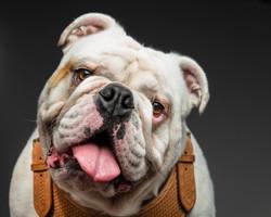 Headshot of English bulldog wearing leather harness, posing on a dark background.
