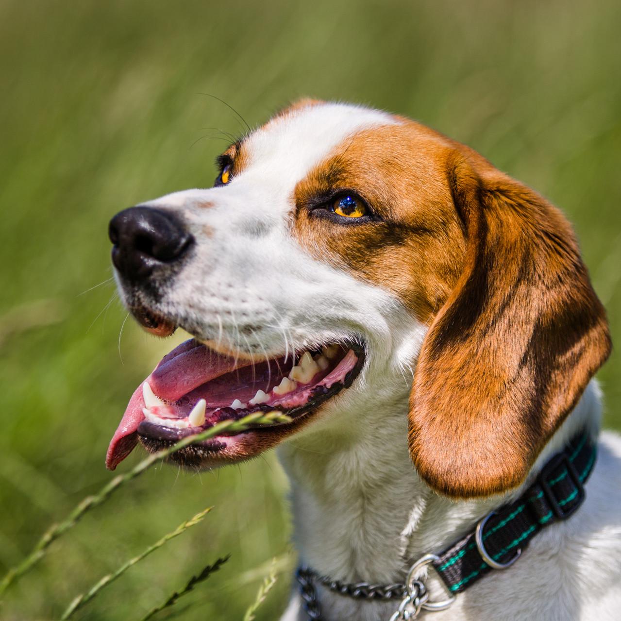 Marlon, Beagle X