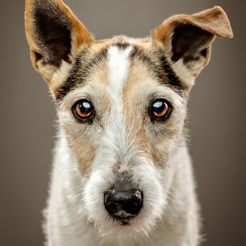 Molly, Jack Russell