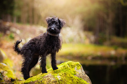 Schnoodle puppy standing on a rock in front of lake with sunny background, Tom Harper Photography
