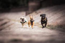 Three terriers running along concrete dam towards camera