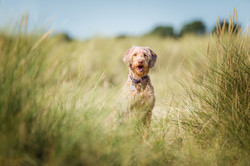 Golden doodle among the grass on dunes at Great Yarmouth beach, Tom Harper Photography