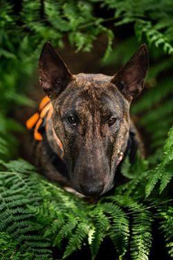 English Bull Terrier, EBT, in ferns, Tom Harper Photography