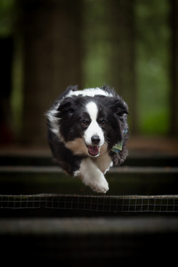 Border collie jumping over bench in woods, Tom Harper Photography