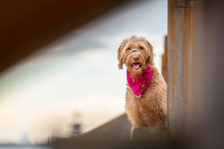 Golden doodle dog between groynes at Great Yarmouth beach, Tom Harper Photography